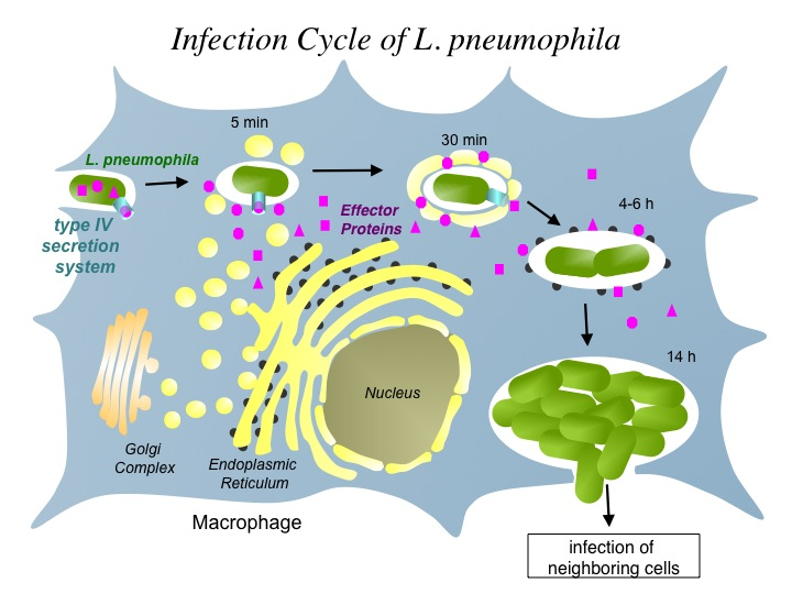 diagram of the infection cycle of L. pneumophila ending with infection of neighboring cells