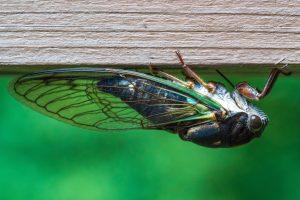 A Locust hanging upside down